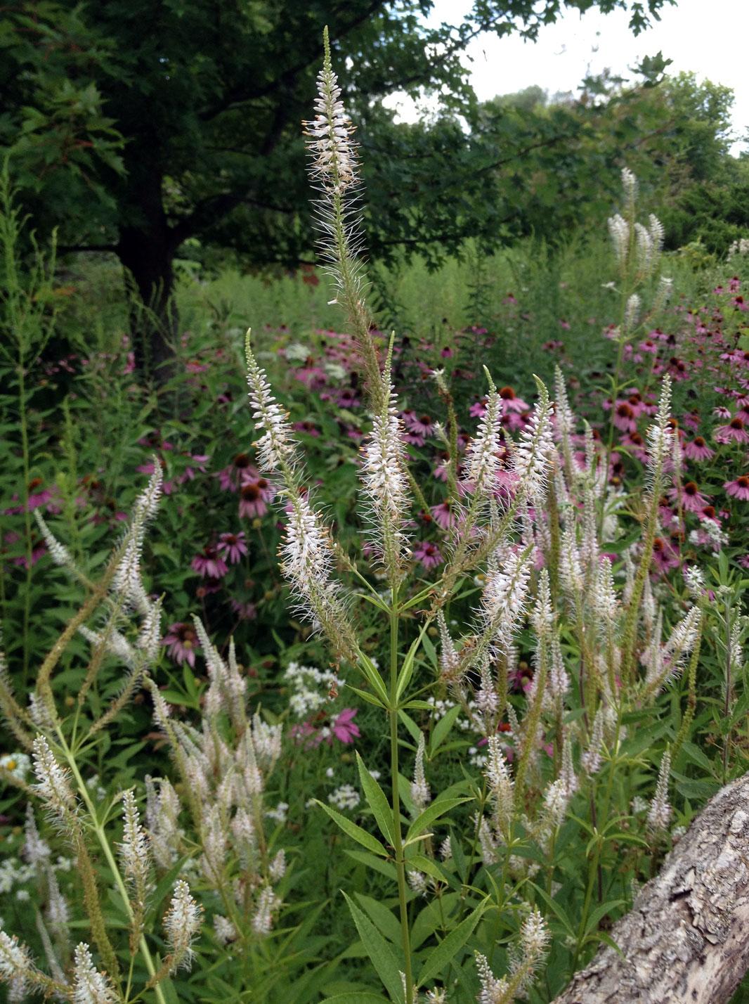 Veronicastrum virginicum (Culver's Root) – Local Native