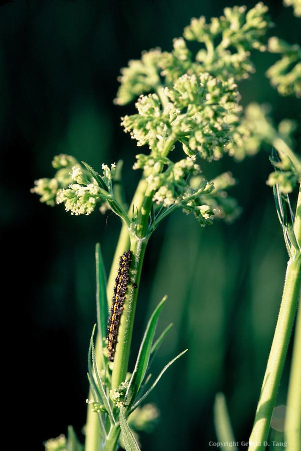 Valeriana edulis var  ciliata (Common Valeria) – Local